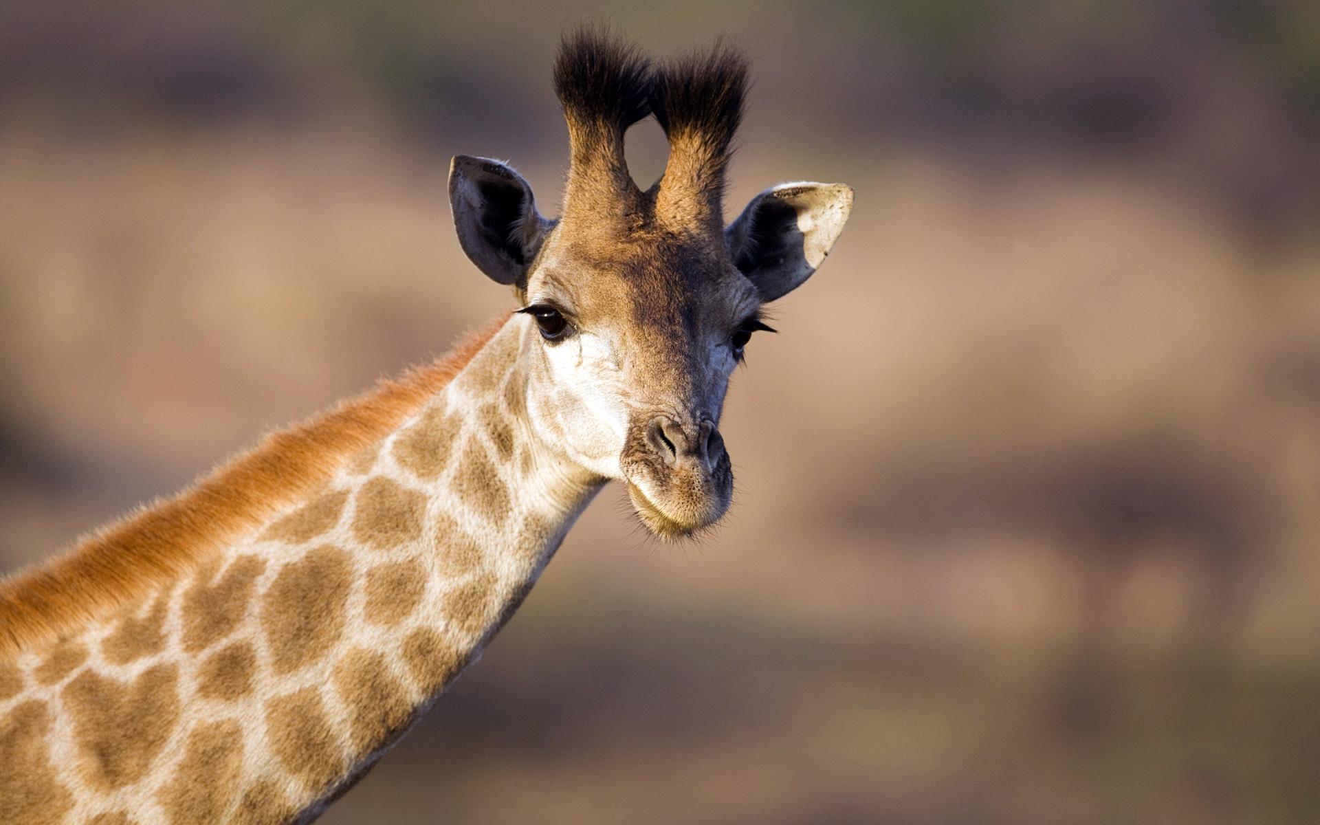 软件下载 桌面主题 风光主题 微软官方win8主题《非洲野生动物》 应用