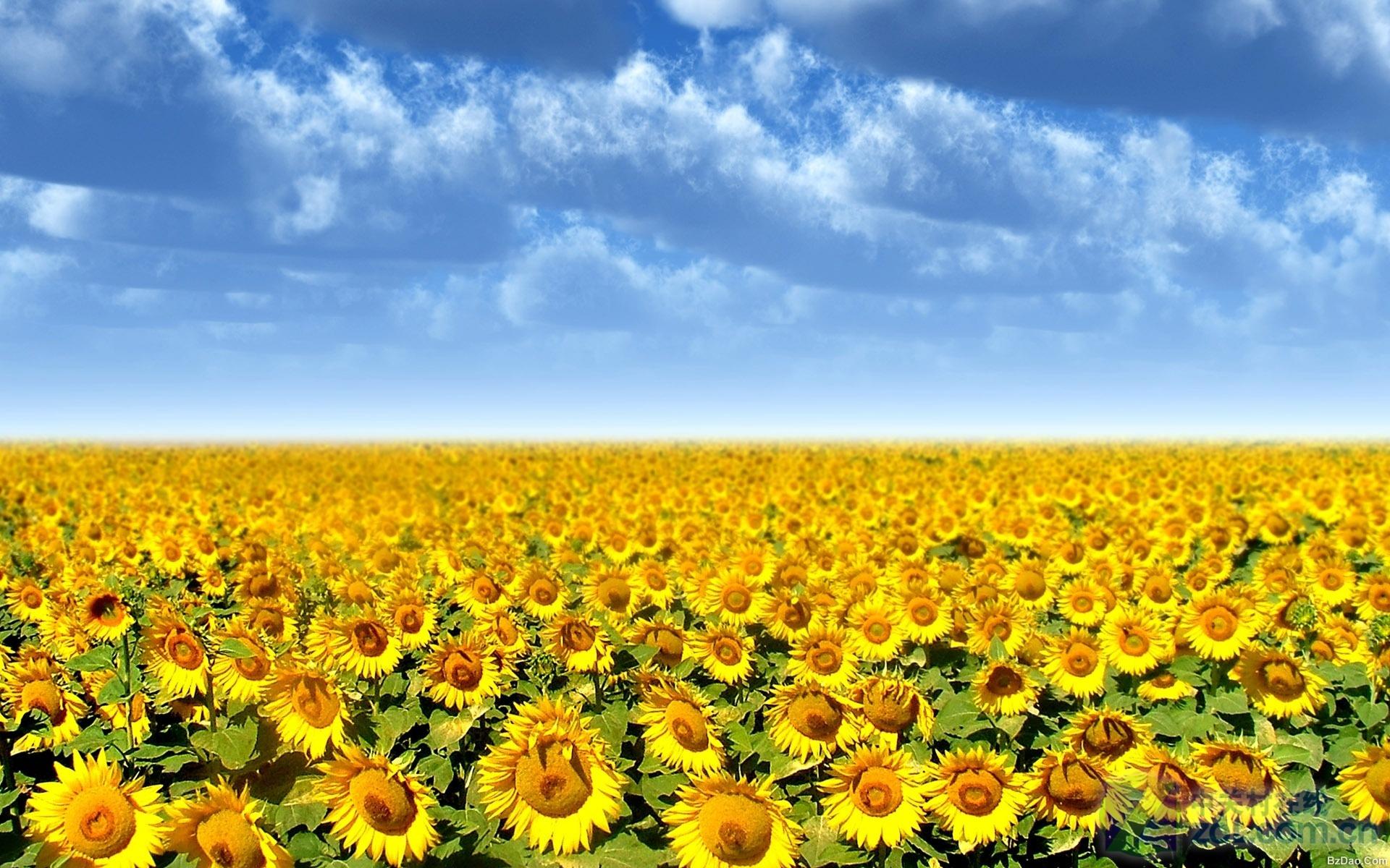 软件下载 桌面壁纸 高清壁纸 高清大屏向日葵摄影壁纸 应用截图