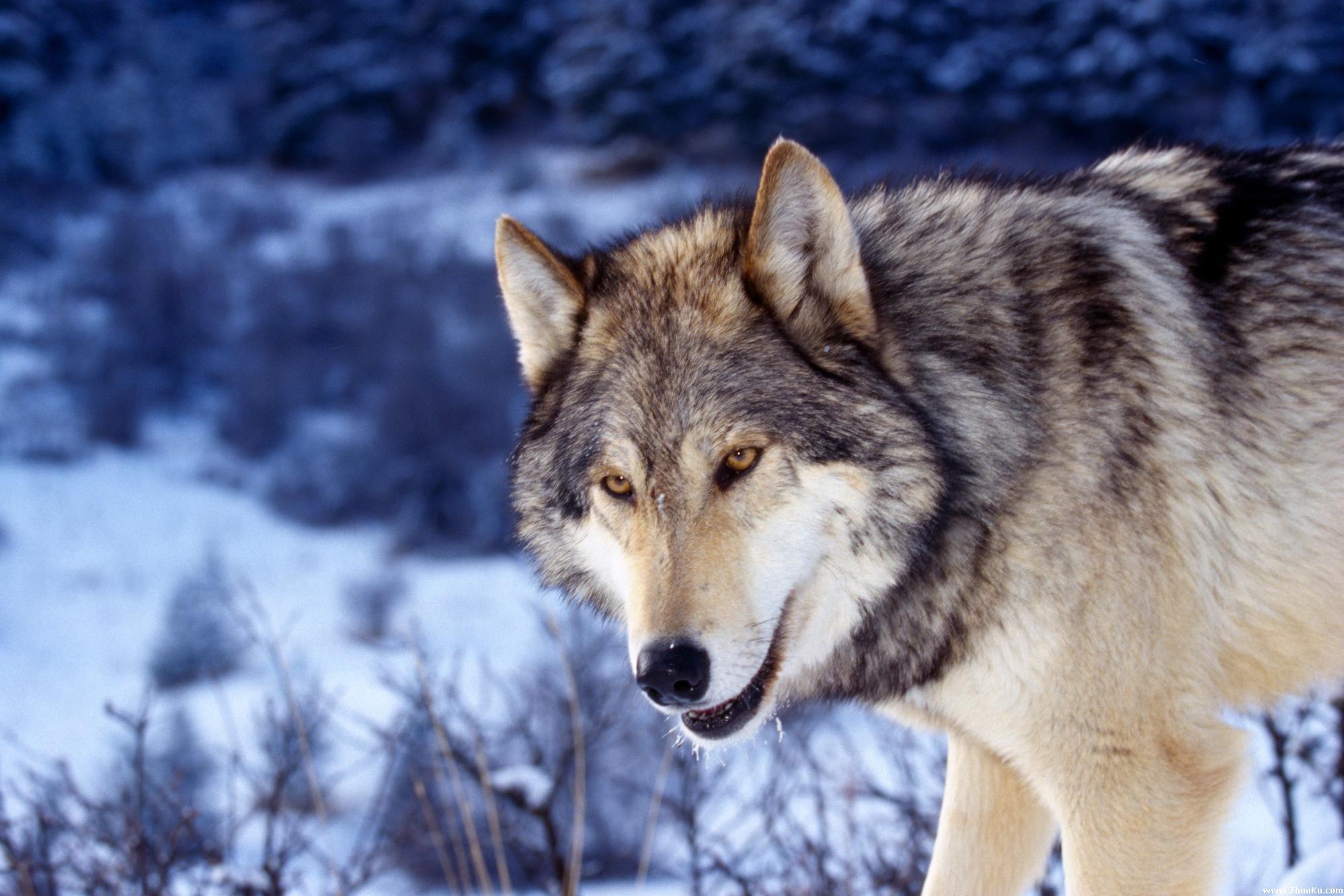 东北狼_狼的高清壁纸