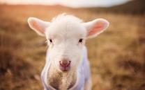 温驯伶俐的羊图片壁纸