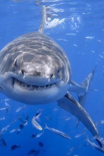 张大嘴巴的鲨鱼壁纸
