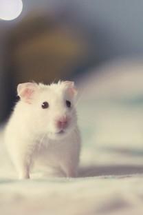 可爱的小仓鼠图片壁纸