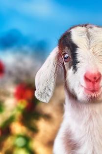 可爱好看羊羊图片壁纸