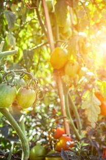 高清番茄背景图片壁纸