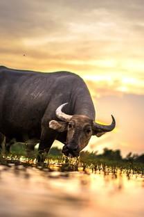 草原牛群高清图片壁纸
