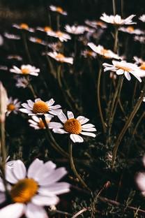 唯美小清新花朵圖片壁紙3